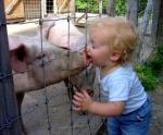 swine-flu-pig